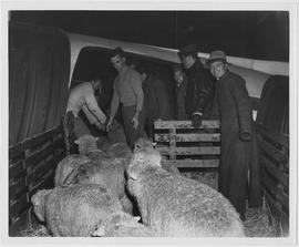 The first airborne sheep in China's history -- 25 blue blooded New Zealand Corriedales -- enter a...