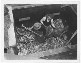 A near-record catch of 75,000 pounds of deep sea fish -- twice the average haul to date by one vessel -- is shoveled into lift baskets in the hold of the fishing boat Hussler,