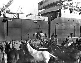 [Italy] UNRRA mules, hoisted on board in pairs, start their voyage to Greece to replace draft ani...