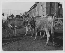 Sleek young heifers -- part of SS Lindenwood Victory's 800 head of high grade UNRRA Canadian dairy cattle and 90 choice Yorkshire hogs -- test their sea legs after their fifteen-day voyage to Shanghai from Vancouver, BC