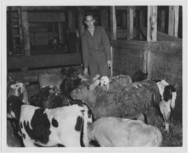An UNRRA veterinarian, Dr Herbert Johnson, inspects some of the 37 calves born on the ship which ...
