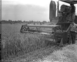 CNRRA / 765 A 12-foot self-propelling Massey-Harris farm combine picks rice near Minghong, at 300...