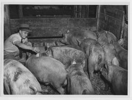 Fat Yorkshire hogs brought to China by UNRRA on the cattle ship Lindenwood Victory are examined o...